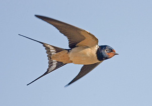 schwalbe vogel