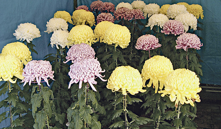 Chrysanthemen.